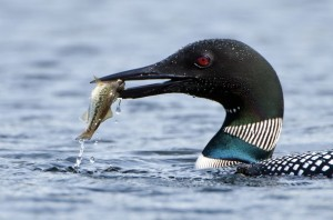 loon with fish